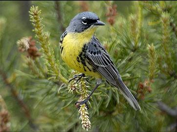 Species Spotlight: Kirtland's Warbler