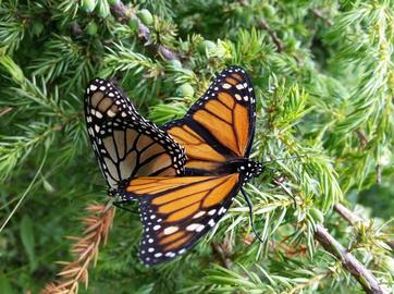 Learn about monarch protection at the Annual Meeting on April 29 in Grand Rapids