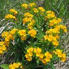 Betty and Ralph Campbell Memorial Plant Preserve at Helmer Brook - hoary puccoon